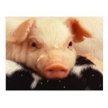 Piglet Post Card
