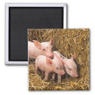Piglets 2 Inch Square Magnet