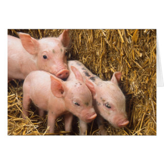 Piglets Greeting Card