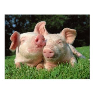 Piglets In Love Postcard
