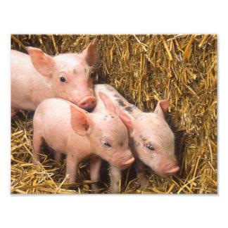 Piglets Photo