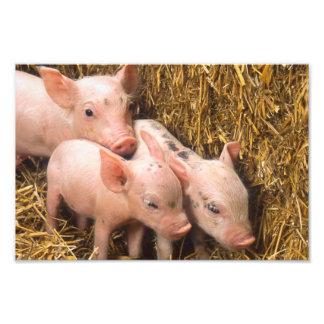 Piglets Photographic Print