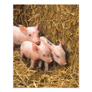 Piglets Photo Art