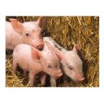 Piglets Post Cards