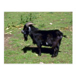 Pigmy Goat Postcard