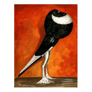 Pigmy Pouter Black Pied Postcard