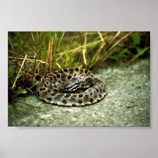 Pigmy Rattlesnake Poster