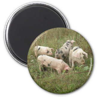 Pigs in a Field Magnet