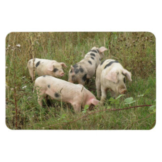 Pigs in a Field Premium Magnet