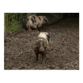 Pigs in mud postcard