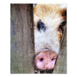 PIGS PHOTOGRAPH