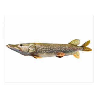 Pike Muski fishing Postcard