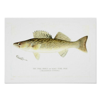Pike Perch Posters