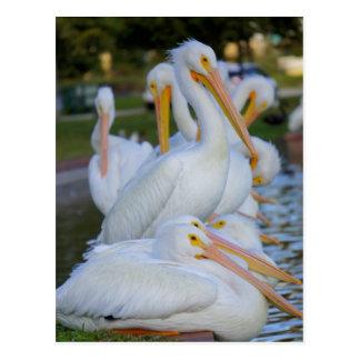 Pile of Pelicans Postcard