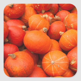 Pile of small pumpkins, Germany Square Sticker