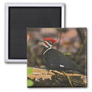 Pileated Woodpecker, Dryocopus pileatus, Magnet