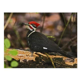 Pileated Woodpecker, Dryocopus pileatus, Postcard