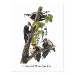 Pileated Woodpecker, John Audubon Postcard