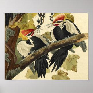 Pileated Woodpecker, John James Audubon Poster