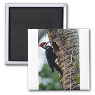 Pileated woodpecker 2 inch square magnet
