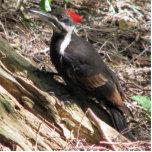 Pileated Woodpecker Photo Sculpture