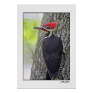 """""""pileated Woodpecker"""" Poster"""