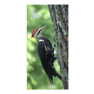 pileated woodpecker summer photo card