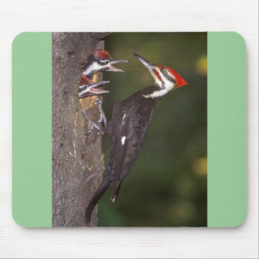 Pileated Woodpecker with young Mouse Pad