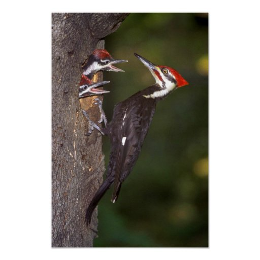 Pileated Woodpecker with young Poster