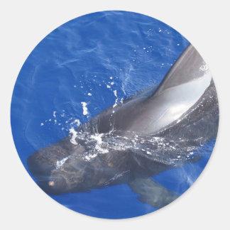 Pilot Whale in Hawaii Classic Round Sticker