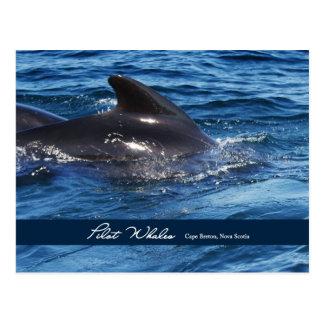 Pilot Whales, Cape Breton, Nova Scotia Postcard