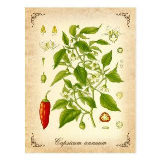 Pimienta de chile - ejemplo del vintage postal