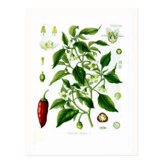 Pimiento annuum (pimienta de cayena) postal
