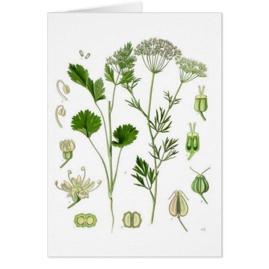 Pimpinella Anisum Card