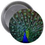 """""""Pin del plumaje del Peafowl"""""""