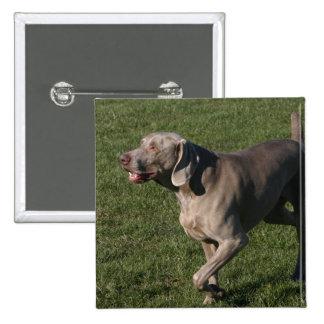 Pin juguetón del perro de Weimaraner