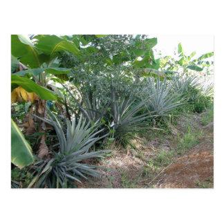 Piña y llantén en Dominica Tarjetas Postales