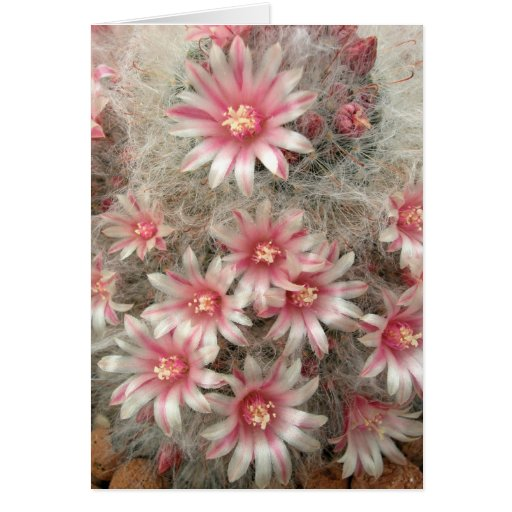 Pincushion cactus with pink flowers card