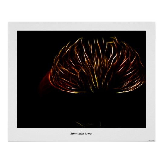 Pincushion Protea Poster