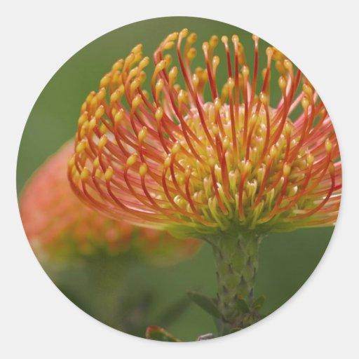 Pincushion Protea Sticker