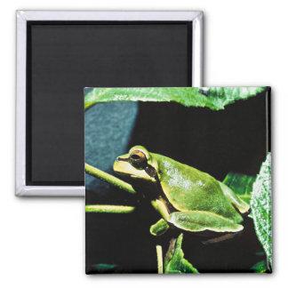 Pine Barrens tree frog Magnets