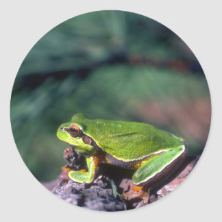 Pine Barrens Treefrog Classic Round Sticker