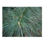 Pine Bough Postcard
