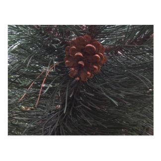 Pine Cone - photograph Postcard