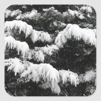 Pine Covered in Lowland Snow Olympia WA Square Sticker
