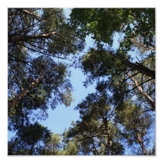 Pine forest canopy poster