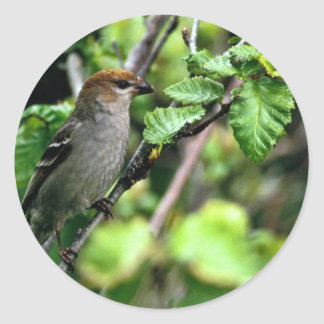 Pine Grosbeak Stickers