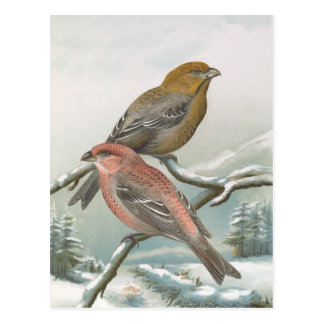 Pine Grosbeak Vintage Bird Illustration Postcard