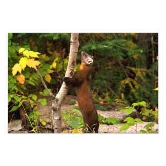 Pine Marten Morning Photographic Print