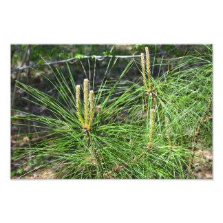 Pine Needles Photo Print